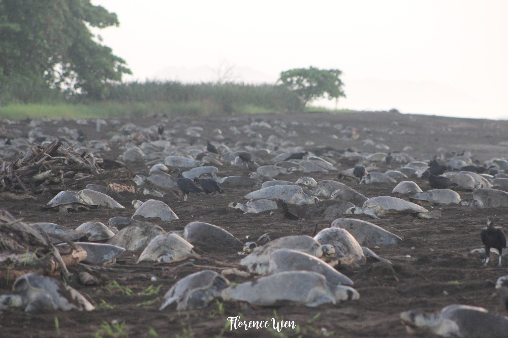 Fundraiser by Florence Wen : FLO SEA TURTLE STUDY IN COSTA RICA