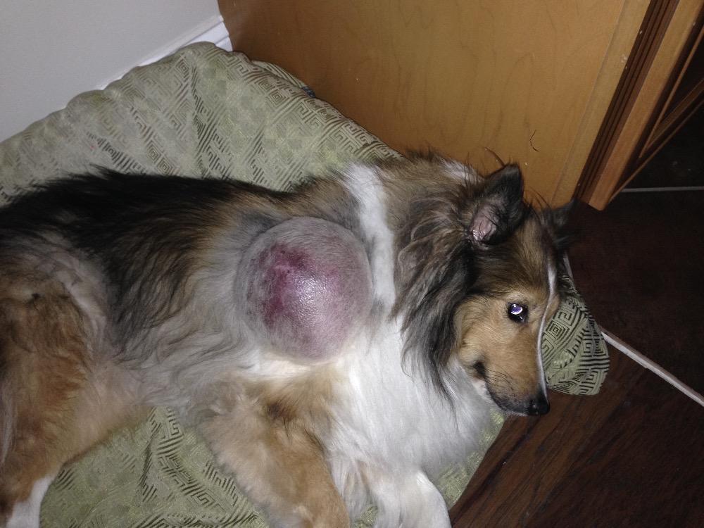Dog Lipoma Burst 8483 | ENEWS